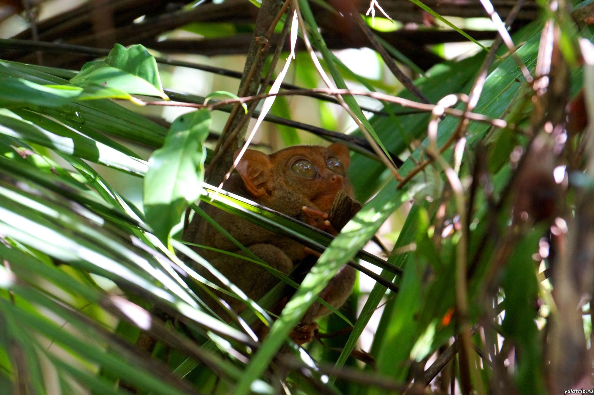 филиппинский долгопят-тарсиер бохол филиппины