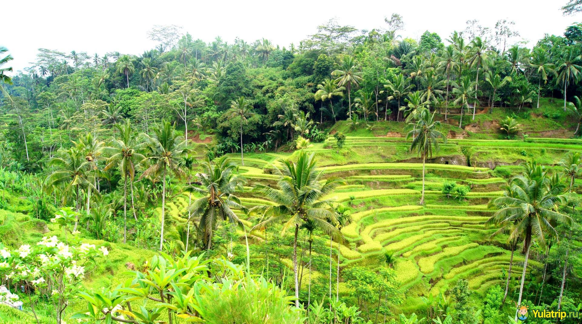 рисовые террасы бали Тегаллаланг